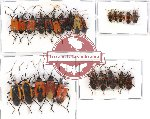 Scientific lot no. 194 Heteroptera (25 pcs - 2 pcs A2)