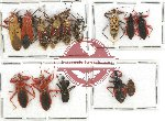 Scientific lot no. 250 Heteroptera (Reduviidae) (14 pcs)