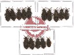 Scientific lot no. 271 Heteroptera (Aradiidae) (15 pcs - 5 pcs A2)