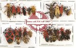 Scientific lot no. 253 Heteroptera (30 pcs A, A-, A2)