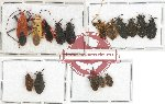 Scientific lot no. 249 Heteroptera (16 pcs A, A-, A2)