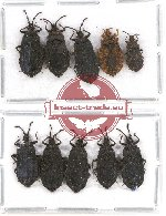 Scientific lot no. 268 Heteroptera (Aradiidae) (10 pcs - 5 pcs A2)
