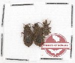 Scientific lot no. 231 Heteroptera (Aradiidae) (3 pcs)