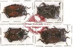 Scientific lot no. 295 Heteroptera (Pentatomidae) (4 pcs)