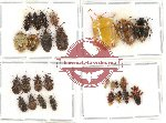 Scientific lot no. 272 Heteroptera (28 pcs)
