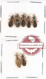 Scientific lot no. 211 Heteroptera (Reduviidae) (7 pcs)