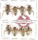 Scientific lot no. 285 Heteroptera (8 pcs)
