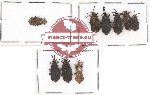 Scientific lot no. 239 Heteroptera (Aradiidae) (9 pcs)