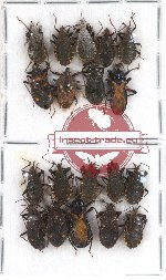 Scientific lot no. 269 Heteroptera (19 pcs - +9 pcs A2)