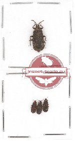 Scientific lot no. 214 Heteroptera (Aradiidae) (4 pcs)