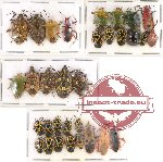 Scientific lot no. 290 Heteroptera (Pentatomidae) (32 pcs A, A-, A2)