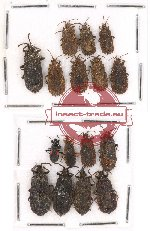 Scientific lot no. 224 Heteroptera (Aradiidae) (16 pcs)