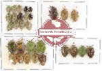 Scientific lot no. 293 Heteroptera (Pentatomidae) (30 pcs - 14 pcs A2)