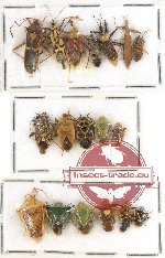 Scientific lot no. 240 Heteroptera (18 pcs A, A-, A2)