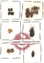 Scientific lot no. 228 Heteroptera (19 pcs)