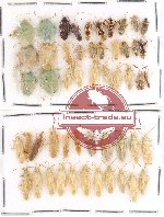 Scientific lot no. 216 Heteroptera (52 pcs A, A-, A2)