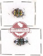 Scientific lot no. 241 Heteroptera (Scutellarinae) (2 pcs A2)