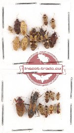 Scientific lot no. 218 Heteroptera (20 pcs A, A-, A2)