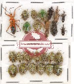 Scientific lot no. 230 Heteroptera (25 pcs A, A-, A2)