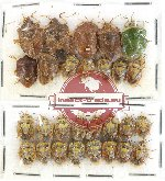 Scientific lot no. 225 Heteroptera (Pentatomidae) (28 pcs)