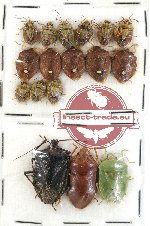 Scientific lot no. 226 Heteroptera (Pentatomidae) (17 pcs)