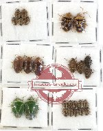 Scientific lot no. 210 Heteroptera (Pentatomidae) (26 pcs)
