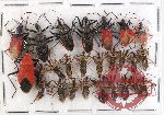 Scientific lot no. 244 Heteroptera (Reduviidae) (26 pcs)