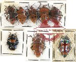 Scientific lot no. 229 Heteroptera (Pentatomidae) (8 pcs A, A-, A2)
