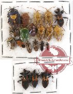 Scientific lot no. 217 Heteroptera (20 pcs)