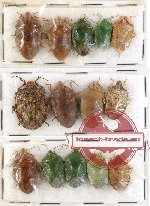 Scientific lot no. 236 Heteroptera (Pentatomidae) (14 pcs A, A-, A2)
