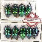 Scientific lot no. 233 Heteroptera (Scutellarinae) (9 pcs A-, A2)