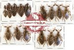 Scientific lot no. 287A Heteroptera (17 pcs)