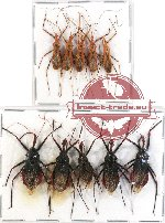 Scientific lot no. 279 Heteroptera (Reduviidae) (10 pcs A-, A2)