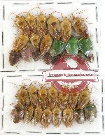 Scientific lot no. 266 Heteroptera (Pentatomidae) (35 pcs A, A2)