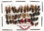 Scientific lot no. 223 Heteroptera (39 pcs)