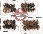 Scientific lot no. 264 Heteroptera (Pentatomidae) (38 pcs)