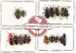 Scientific lot no. 275 Heteroptera (17 pcs - 8 pcs A2)