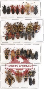 Scientific lot no. 288 Heteroptera (40 pcs - 13 pcs A2)