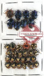 Scientific lot no. 243 Heteroptera (Pentatomidae) (31 pcs)