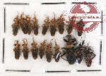 Scientific lot no. 232 Heteroptera (Reduviidae) (18 pcs)