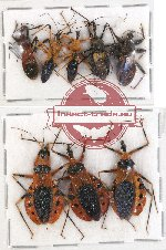 Scientific lot no. 234 Heteroptera (Reduviidae) (8 pcs A, A-, A2)