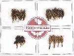 Scientific lot no. 16 Orthoptera (20 pcs A, A-, A2)
