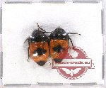 Scientific lot no. 345 Heteroptera (Scutellarinae) (2 pcs A2)