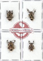 Scientific lot no. 347 Heteroptera (Pentatomidae) (4 pcs - 2 pcs A2)