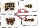 Scientific lot no. 353 Heteroptera (Pentatomidae) (27 pcs - 3 pcs A2)