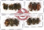 Scientific lot no. 339 Heteroptera (Pentatomidae) (15 pcs A-, A2)