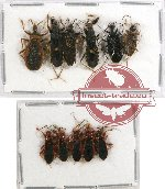 Scientific lot no. 336 Heteroptera (Reduviidae) (11 pcs)