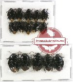 Scientific lot no. 334 Heteroptera (Cydnidae) (15 pcs)