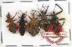 Scientific lot no. 303 Heteroptera (Reduviidae) (5 pcs A2)