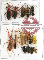 Scientific lot no. 335 Heteroptera (15 pcs A, A2)